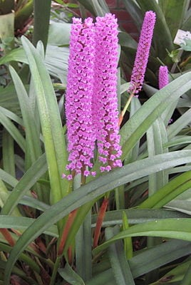 Orquídea-escova-de-mamadeira – Arpophyllum giganteum