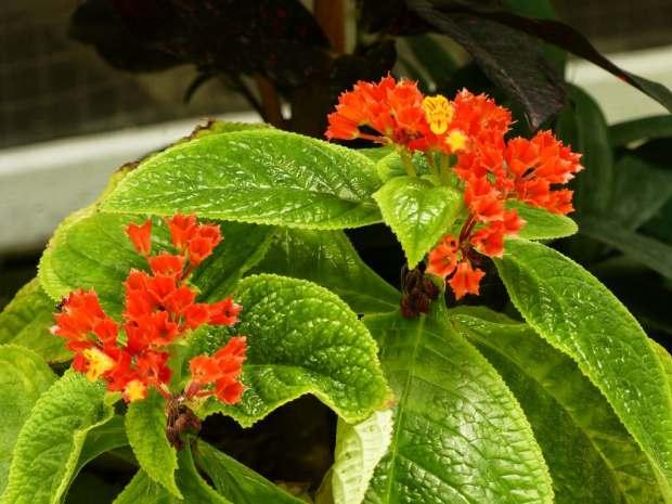 begonia-negra-foto-56