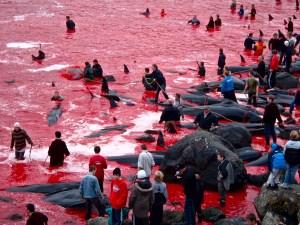 Le massacre des dauphins aux îles Féroé (dépendance du Danemark)