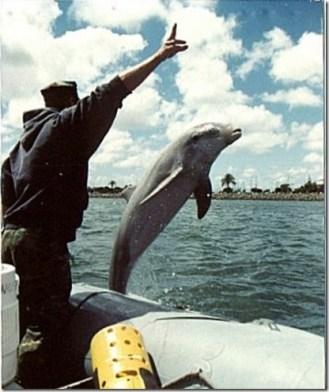 Les Navy Dolphins. On peut voir sur la photo que les dauphins militaires sont muselés pour les empêcher de reprendre le large...