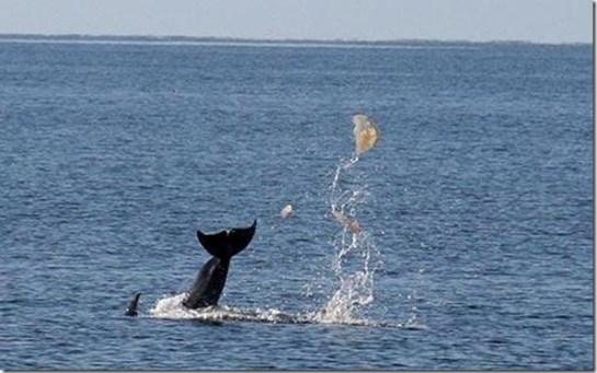 Un dauphin jouant au football avec une méduse  - Photo du Telegraph