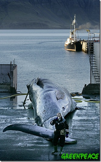 22 Octobre 2006 - Hvalfjörour, Islande. Un rorqual commun menacé d'extinction harponnée hier est ramené dans le port de Hvalfjörour, Islande. Le rorqual commun est le premier chassé en Islande et il marque la reprise de la chasse baleinière commerciale dans le pays. Le Blog sur les dauphins s'associe à Greenpeace pour condamner cet acte de tuerie d'un baleine en voie d'extinction, en tant que gaspillage insensé, et déclarer qu'il n'y a pas de justification économique ou scientifique à cette chasse. ©2006 Greenpeace/ Ragnar Axelsson