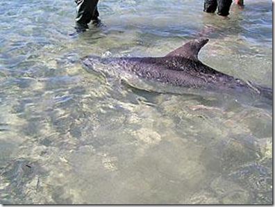 Sauvetage - Le dauphin échoué retrouve l'eau - Photo du Yorke Peninsula Country Times