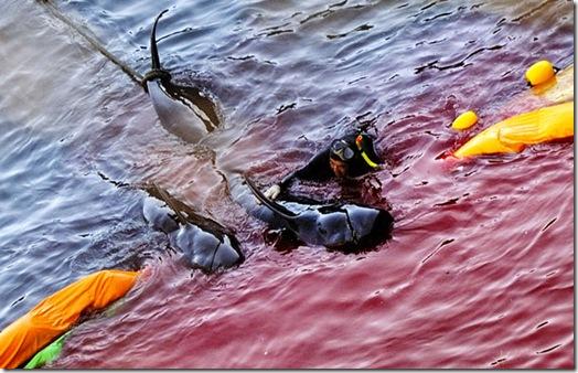 Un pêcheur de Taiji entraînant un globicéphale - Photo de The Guardian