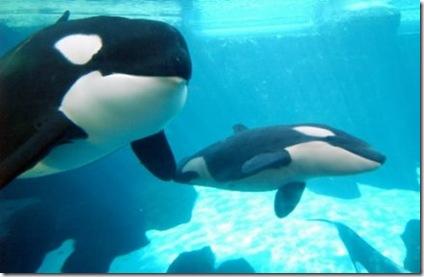 Des.orques.nageant.dans.un.parc.SeaWorld.en.Floride-CyberPresse.ca