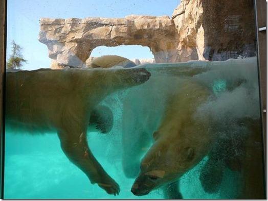 Des ours polaires à Antibes...