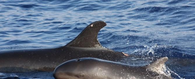 Une fausse orque et son petit