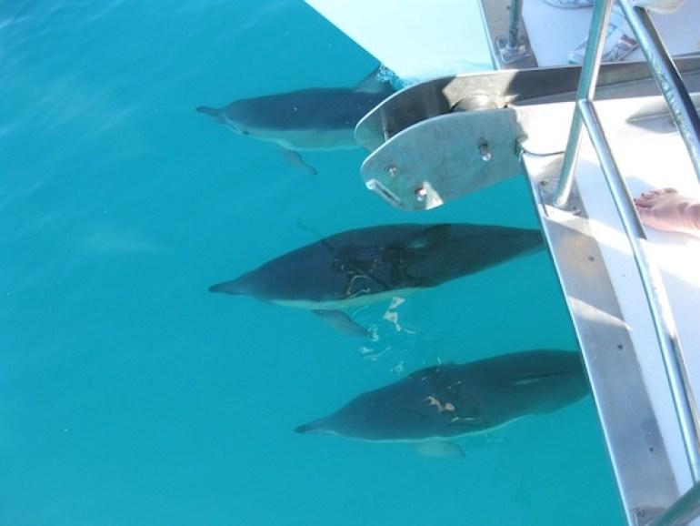 Trois dauphins accompagnant notre bateau