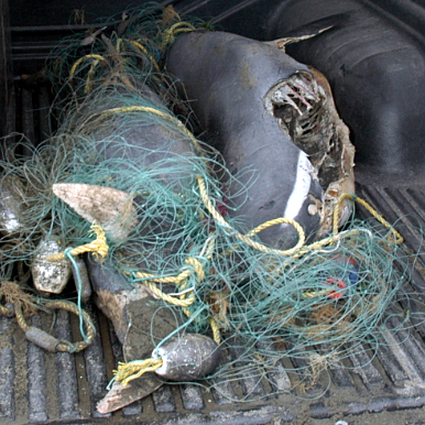 Des dauphins d'Hector morts dans des filets de pêche...
