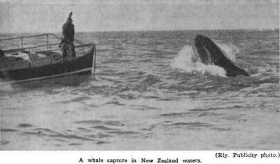 La chasse balenière a disparu dans une majorité de pays, par exemple la Nouvelle-Zélande