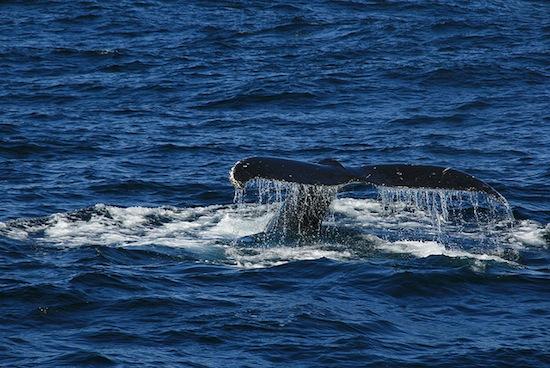 Les baleines ont une vie sociale riche et leurs activités ne se limitent pas à la pêche...