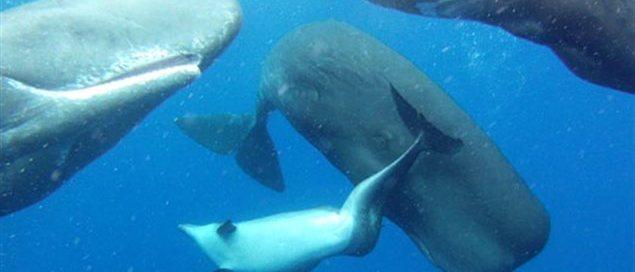 Des cachalots adoptent un dauphin