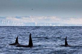 iceland-orcas2