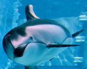 Kirara, le dauphin