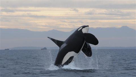 L'épaulard L95 a été retrouvé mort par Pêche et Océans Canada sur les côtes de l'île de Vancouver le 30 mars 2016. Photo : NOAA fisheries