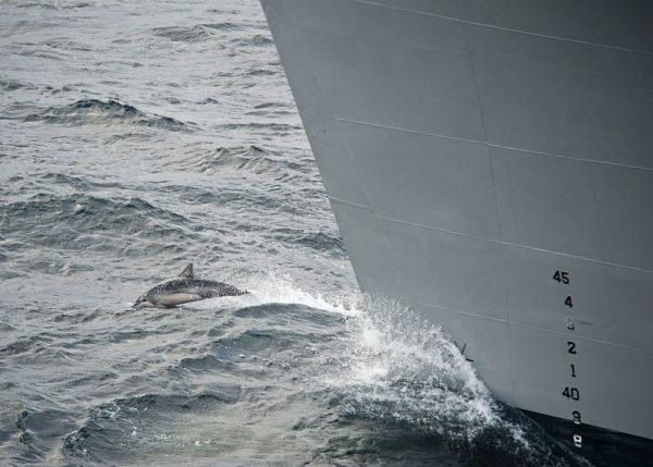 Un dauphin nage devant la proue du navire militaire américain USNS Supply