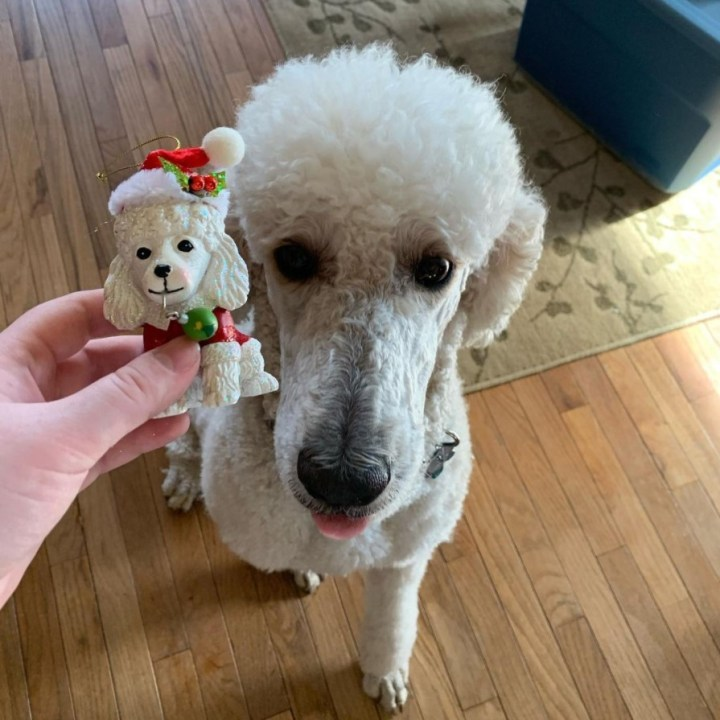 Service poodle with Bronner's ornament