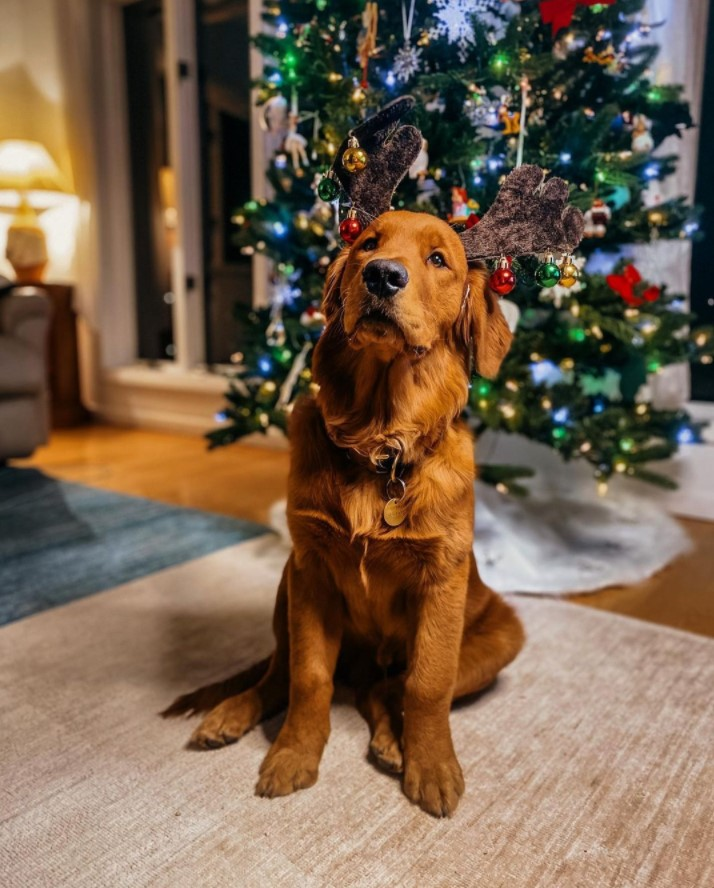 Red retriever with decorated reindeer antler headband