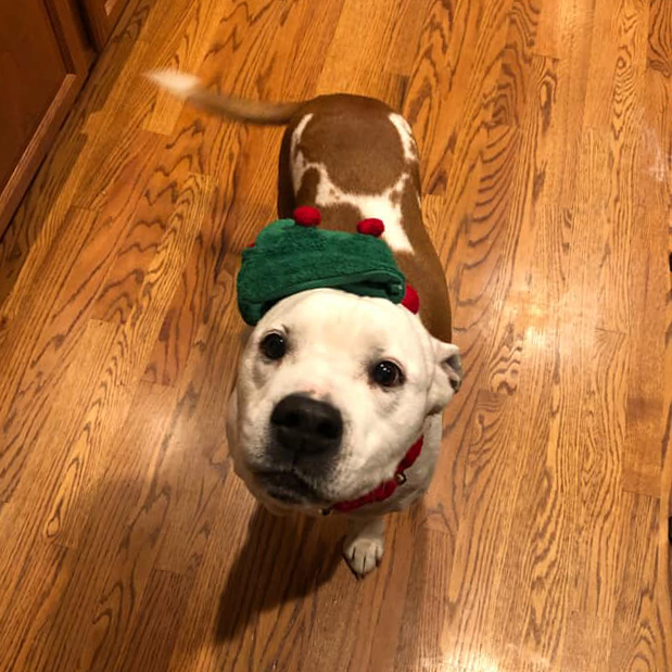 Dog wearing elf hat and collar from Bronner's