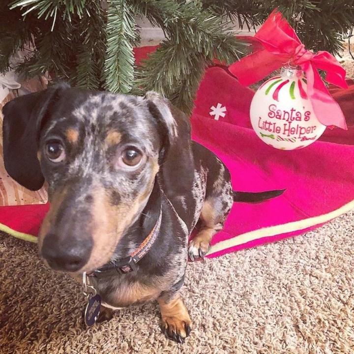 Dachshund with Santa's Little Helper Ornament
