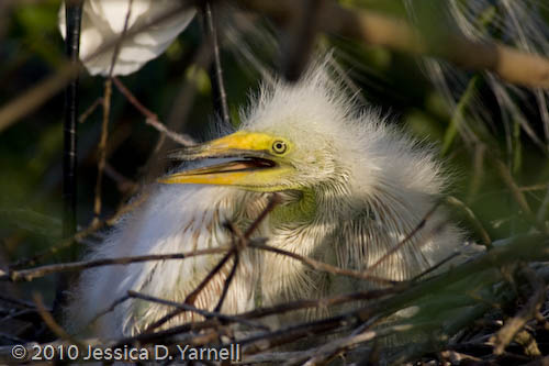 Baby egret close-up
