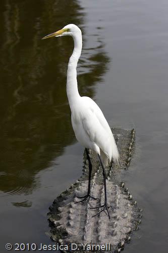 Great egret perched on alligator