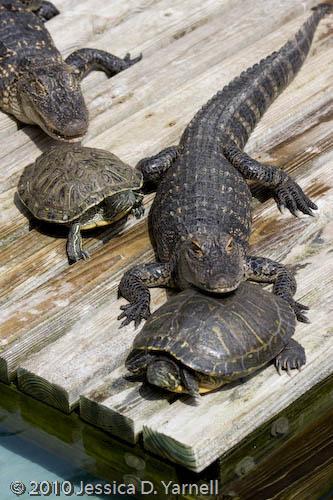 Turtles around gator