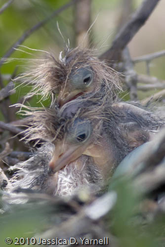Tri-colored heron hatchlings