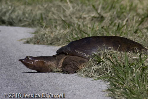 Soft-shelled Turtle