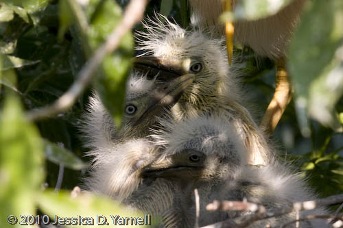 Baby Cattle Egrets