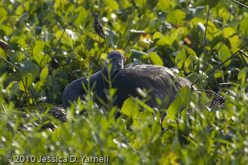 Sand Hill Crane on nest
