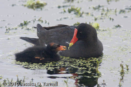 Common Moorhen feeding