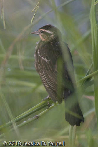 Baby Red-Winged Blackbird
