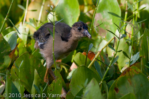 (Younger) Baby Purple Gallinule