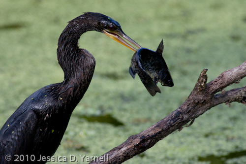Anhinga eating catfish