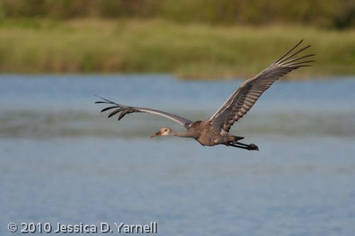 Sand Hill Crane juvenile