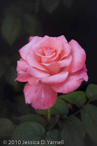 'Touch of Class' rose