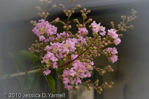 First Crape Myrtle Blooms