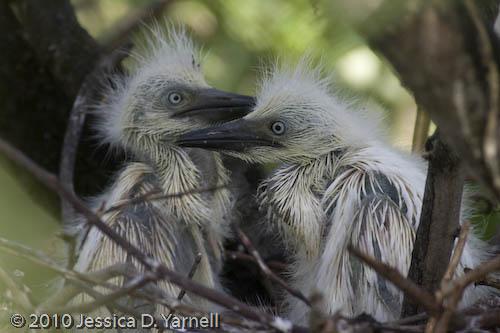 Cattle Egret babies