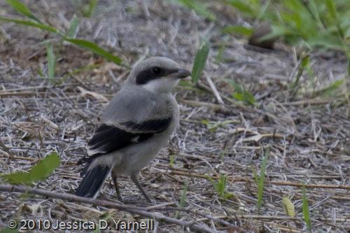 Juvenile Loggerhead Shrike