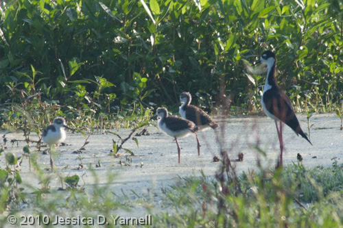 Black-Necked Stilt Family