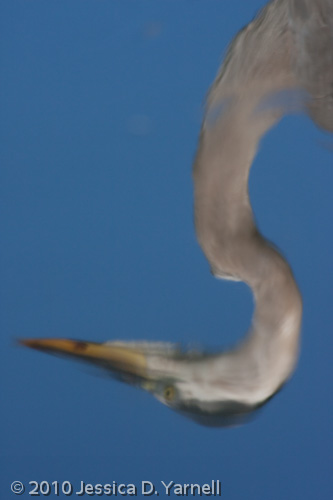 Great Blue Heron (Reflection)