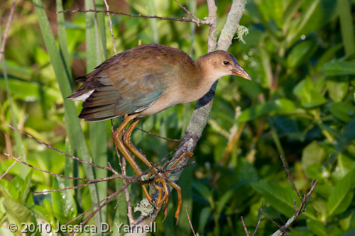 (Older) Baby Purple Gallinule