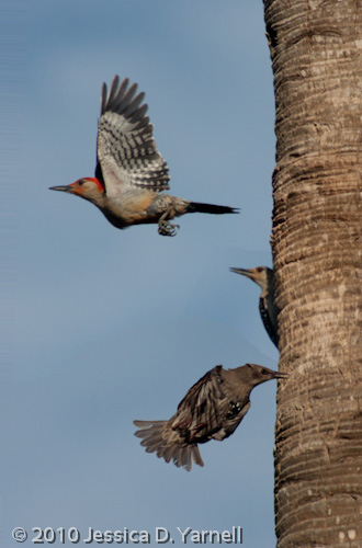 Red-bellied woodpecker family