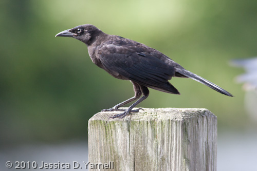 Juvenile Boat-tailed Grackle
