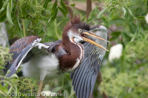 Tricolored Heron fledgling