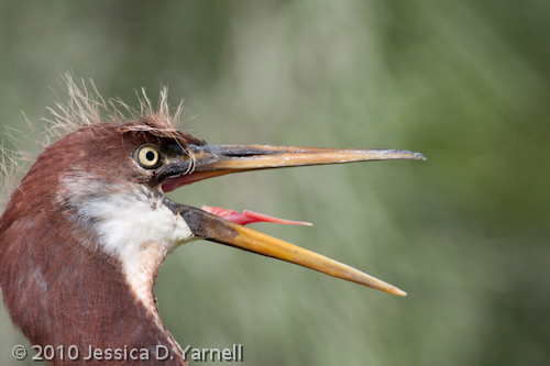 Tricolored Heron juvenile