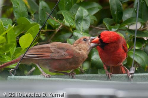 Cardinal feeding baby