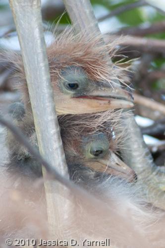 Tricolored Heron babies