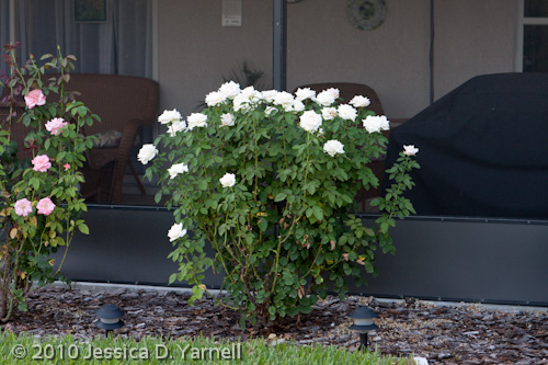 'Moonstone' rose bush